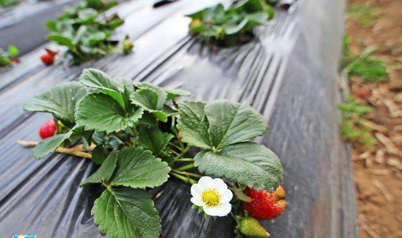 memetik strawberry di bedugul